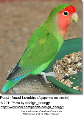 Peach-faced Lovebird (Agapornis roseicollis)