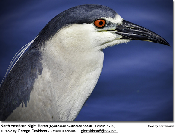 North American Night Heron (Nycticorax nycticorax hoactli - Gmelin, 1789)
