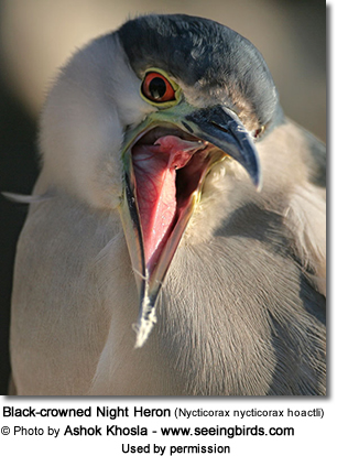 North American Night Heron (Nycticorax nycticorax hoactli)
