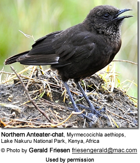 Northern Anteater Chats (Myrmecocichla aethiops)