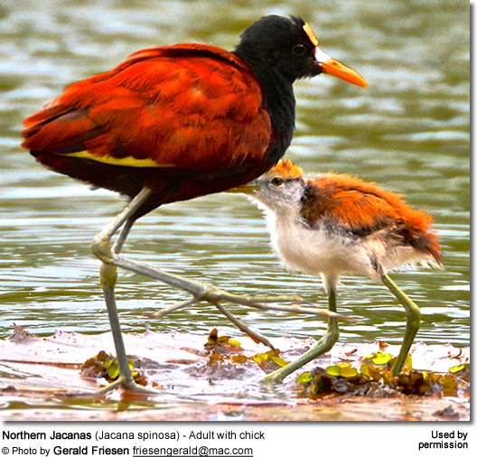 Northern Jacanas (Jacana spinosa) - Adult with chick