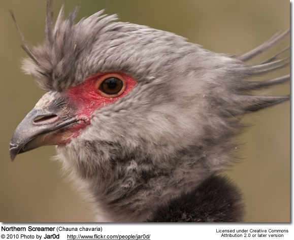 Northern Screamer (Chauna chavaria)