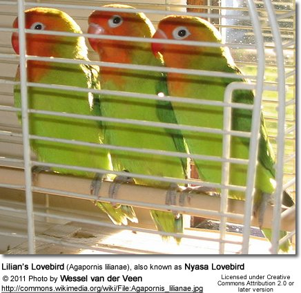 Lilian's Lovebird (Agapornis lilianae), also known as Nyasa Lovebird