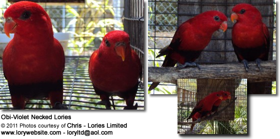 Obi-Violet Necked Lories