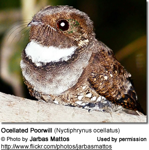 Ocellated Poorwill (Nyctiphrynus ocellatus)