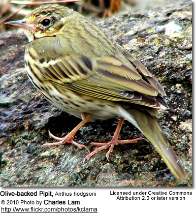 Olive-backed Pipit, Anthus hodgsoni