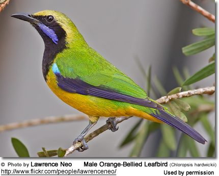 Male Orange-Bellied Leafbird (Chloropsis hardwickii)