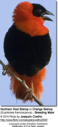 Northern Red Bishop or Orange Bishop (Euplectes franciscanus) - Breeding Male