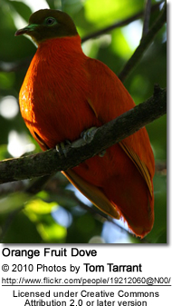 Orange Fruit Dove (Ptilinopus victor)