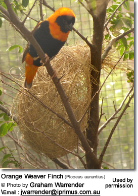 Orange Weaver Finch (Ploceus aurantius)