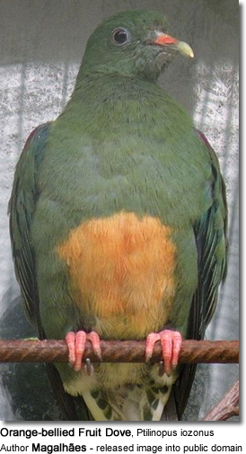 Orange-bellied Fruit Dove, Ptilinopus iozonus