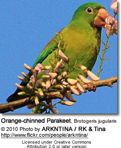Orange-chinned Parakeet, Brotogeris jugularis