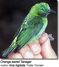Orange-eared Tanager