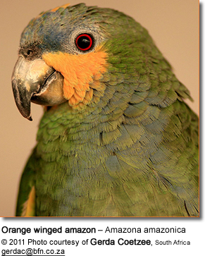 Orange winged amazon – Amazona amazonica