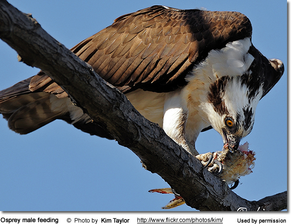 Osprey male feeding