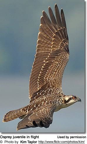 Osprey juvenile in flight