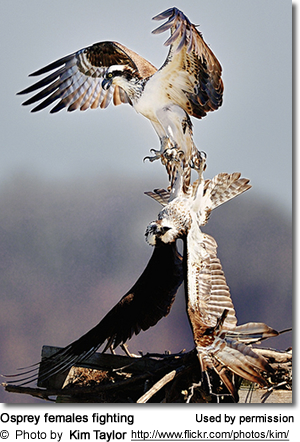 Two Osprey females fighting over a nest