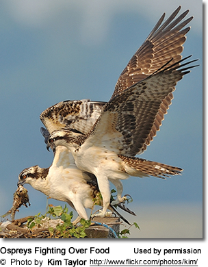 Ospreys Fighting Over Food