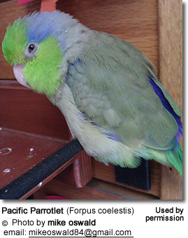 Pet Pacific Parrotlet