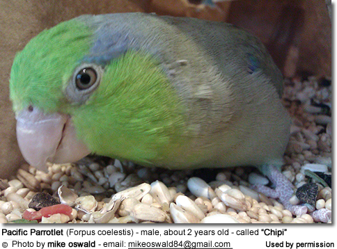 "Pacific Parrotlet (Forpus coelestis) - male, about 2 years old - called ""Chipi"""