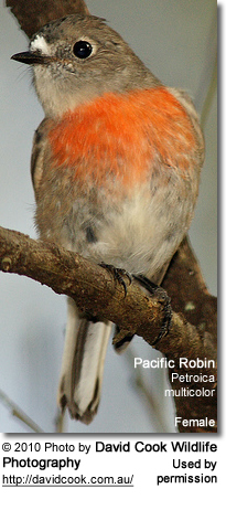 Pacific Robin (Petroica multicolor)