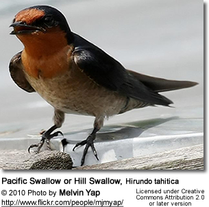 Pacific Swallow or Hill Swallow, Hirundo tahitica