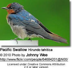 Pacific Swallow Hirundo tahitica