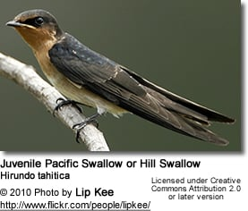 Pacific Swallow or Hill Swallow (Hirundo tahitica)