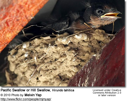 Pacific Swallow or Hill Swallow, Hirundo tahitica - nest with chicks