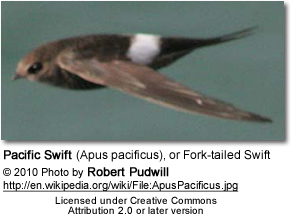 Pacific Swift (Apus pacificus), or Fork-tailed Swift