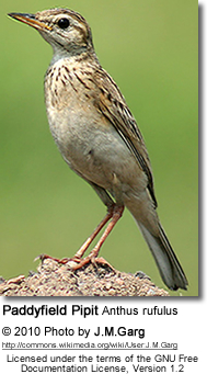 Paddyfield Pipit Anthus rufulus