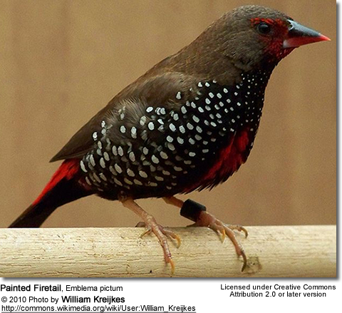 Painted Firetail, Emblema pictum