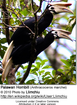 Palawan Hornbill (Anthracoceros marchei)
