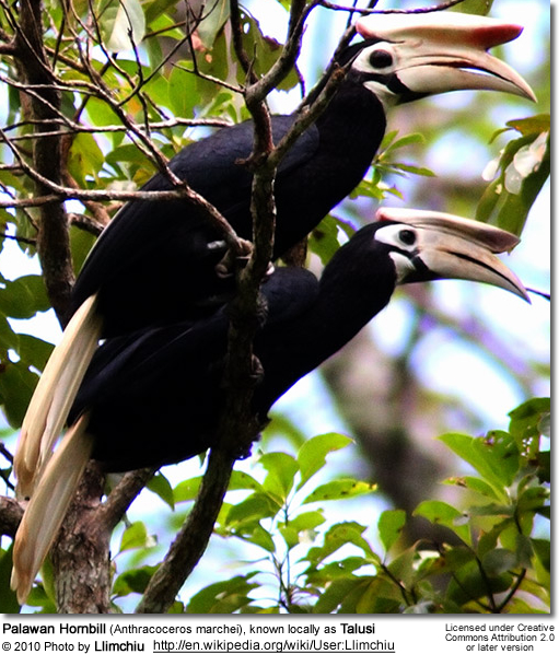 Palawan Hornbill (Anthracoceros marchei), known locally as Talusi