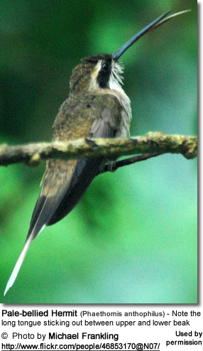 Pale-bellied Hermit (Phaethornis anthophilus) - Note the long tongue sticking out between upper and lower beak