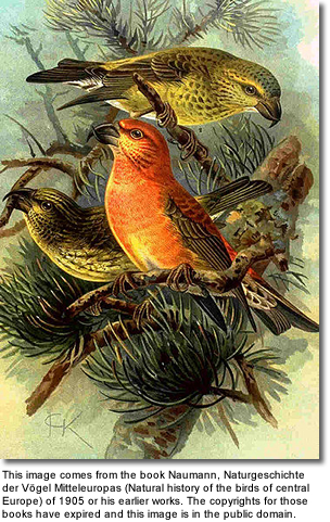 Parrot Crossbill Pair