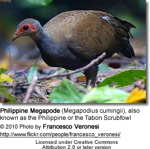 Philippine Megapode (Megapodius cumingii), also known as the Philippine or the Tabon Scrubfowl
