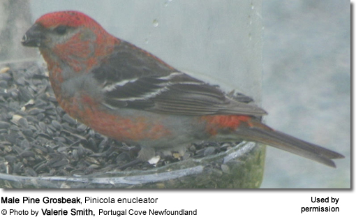 Male Pine Grosbeak, Pinicola enucleator