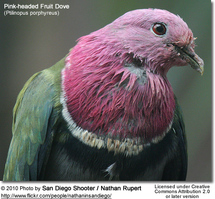 Pink-headed Fruit Dove, (Ptilinopus porphyreus) also known as Pink-necked Fruit Dove or Temminck's Fruit Pigeon