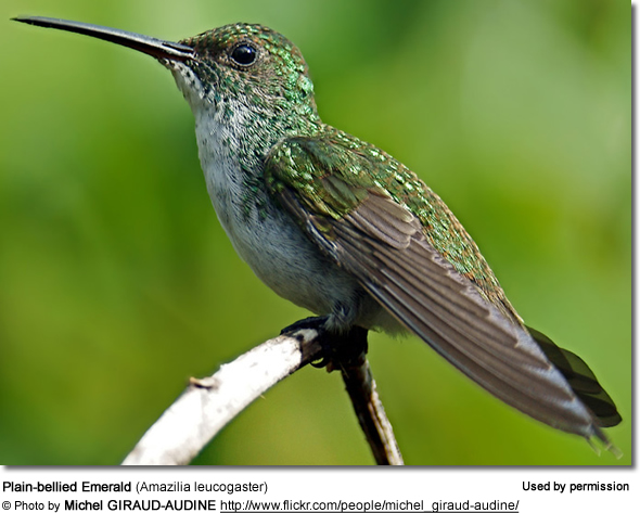 Plain-bellied Emerald (Amazilia leucogaster)