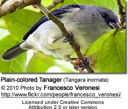 Plain-colored Tanager (Tangara inornata)
