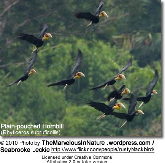 Plain-pouched Hornbill (Rhyticeros subruficollis)