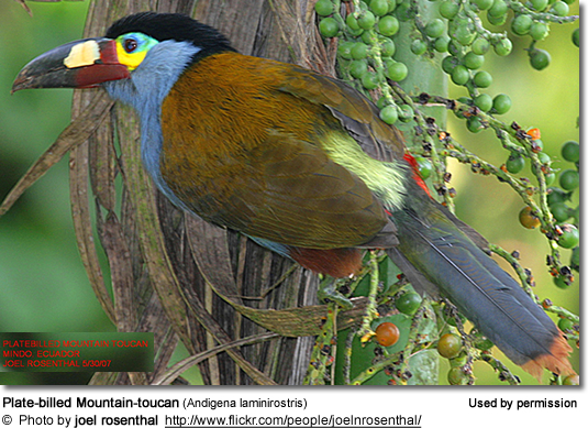 Plate-billed Mountain-toucans (Andigena laminirostris)
