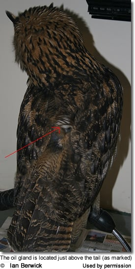 The location of the bird's preen gland (oil gland)