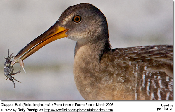 Clapper Rail (Rallus longirostris) / Photo taken in Puerto Rico in March 2006