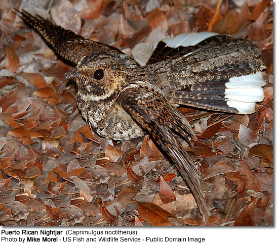 Puerto Rican Nightjar (Caprimulgus noctitherus) with spread wings