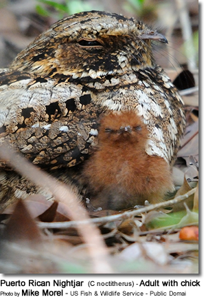 Puerto Rican Nightjar (C noctitherus) - Adult with chick