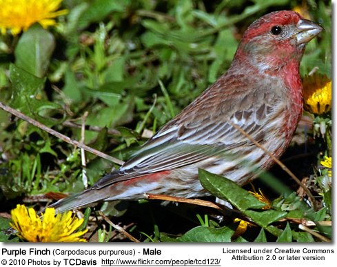 Purple Finch (Carpodacus purpureus) - Male