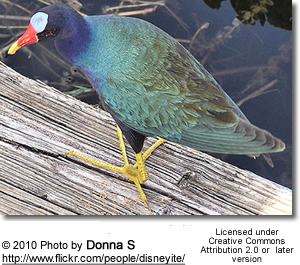 American Purple Gallinules