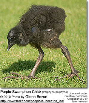 Purple Swamphen Chick (Porphyrio porphyrio)